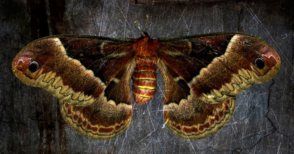 CECROPIA Moth scan